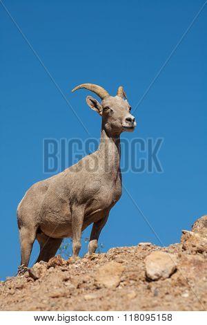 Desert Bighorn Sheep Ewe