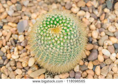 Top view of giant green cactus