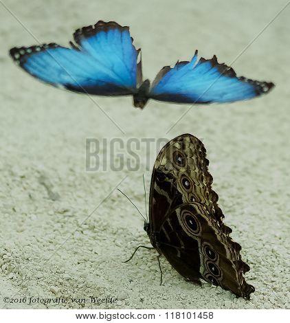 Deze mooie amorpha vlinders zijn te bewonderen in de Orchideenhoeve te Luttlegeest