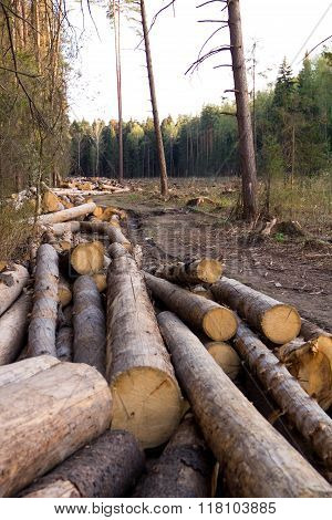 Russia Deforestation: forest has been destroyed human development trees felled and stored for the industry. Wooden logs cut and stacked with forest background