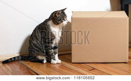 Domestic Cat With Box
