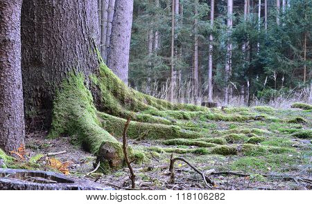 The Roots Of Big Old Spruce, South Bohemia