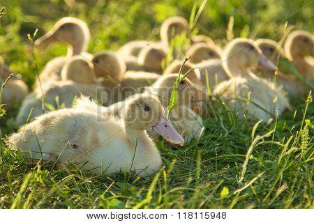 Little Goslings