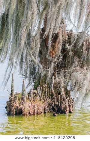 Cypress knees and spanish moss