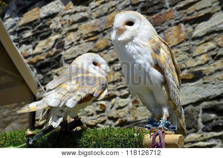 Barn owls Latin name Tyto alba