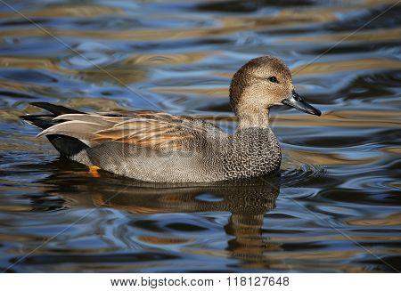 Gadwall Drake Duck