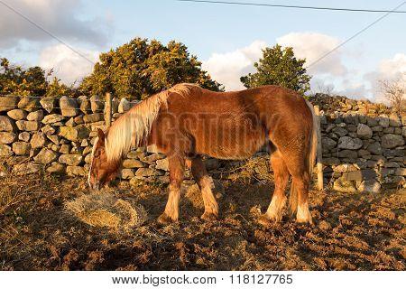 Bay Pony.