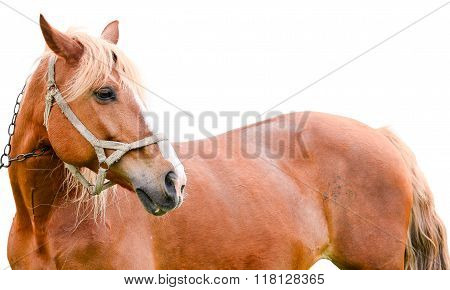 Young chestnut horse isolated on white background