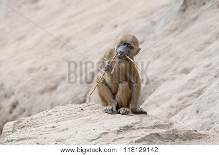 Guinea Baboon (Papio Papio)
