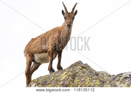 Ibex Perched On Rock Isolated On White Background