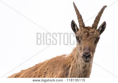 Ibex Looking At Camera Isolated On White Background