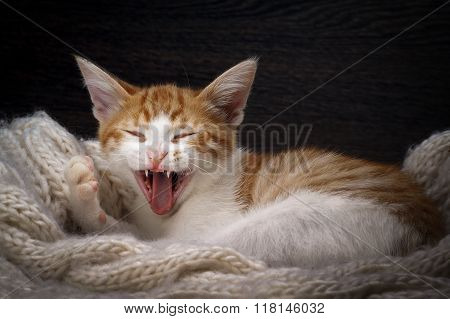 Funny cat laughing. Portrait of a laughing cat largly