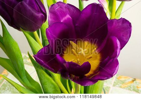 Purple Tulips On The Light Background