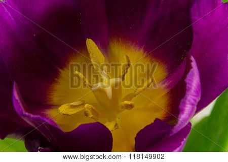 Purple Tulip Macro