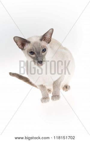 Beautiful Oriental Shorthair Adult Isolated In White