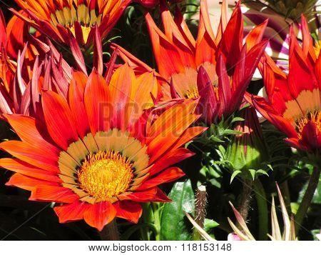 Orange Gazania Flowers Genus Asteraceae