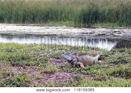 Very Large Wild Iguana Lizard