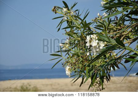 Oleander On The Beach