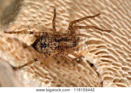 Anyphaena accentuata spider