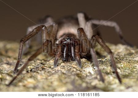 Drassodes cupreus spider fangs