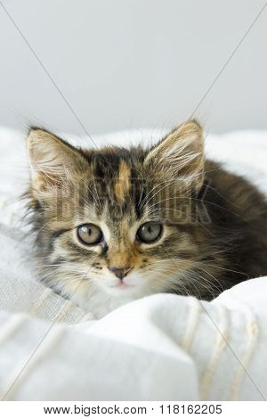 tortie coloring Maine Coon cat on a beige blanket