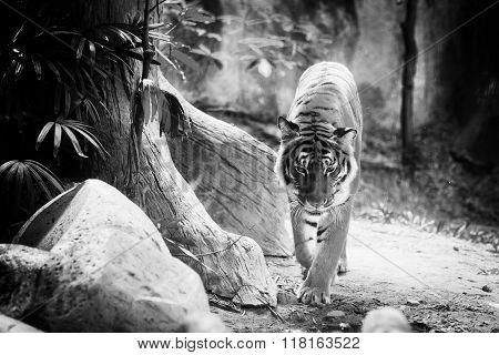 Portrait of Amur Tigers walk alone in the zoo