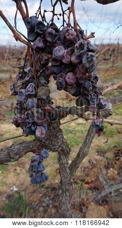 Wither Rotten Grape