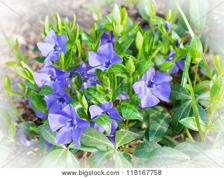 Periwinkle Vinca blue spring flowers