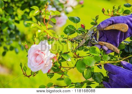 Gardening - cutting flowers roses in the garden