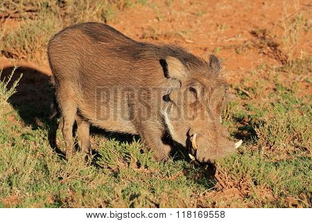 A warthog (Phacochoerus africanus) in natural habitat, South Africa