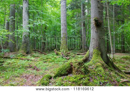 Group Of Old Spruces Inside Deciduous Stand