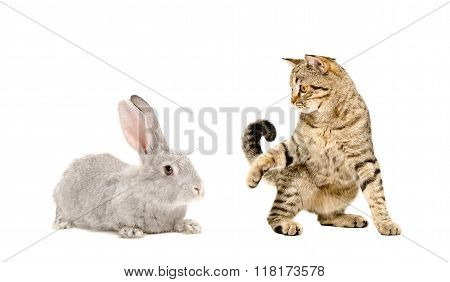 Playful cat Scottish Straight and rabbit