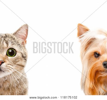 Portrait of a cat Scottish Straight and Yorkshire terrier together