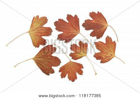 Pressed And Dried Leaf Golden Currant Or Ribes Aureum