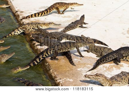 Small crocodiles in crocodile farm in water and cement