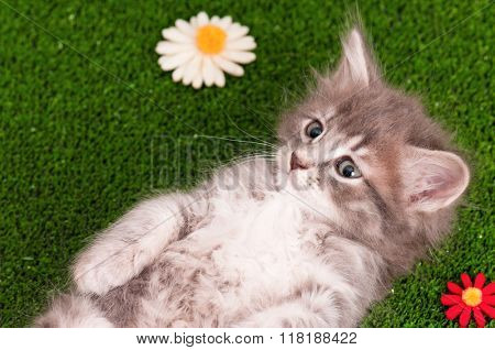 Cute gray kitten playing on artificial green grass