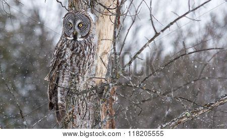 Great Grey Owl in a winter scene