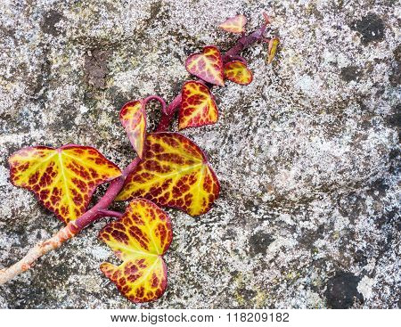red and yellow ivy growing on old stone wall