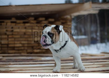 Funny and funny english bulldog sticking his tongue out on the street