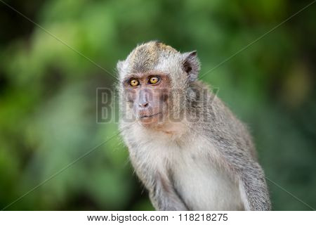 Sitting macaque monkey over green background