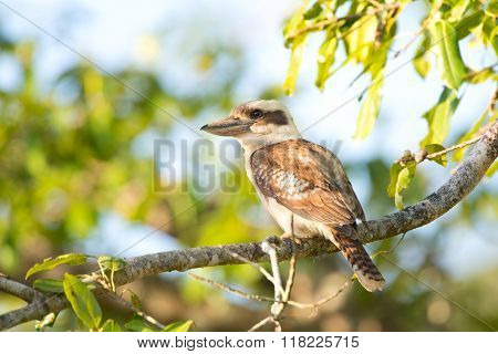 Laughing Kookaburra sitting in a tree, Daintree National Park, Queensland