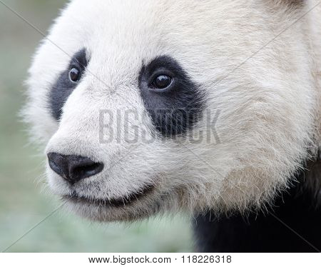 Giant Panda Face, Chengdu, China