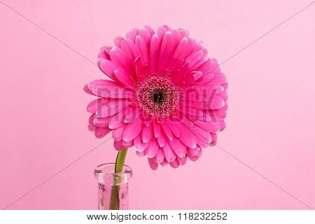 Gerbera On A Pink Background