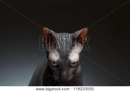 Closeup Portrait Of Sphynx Cat Gaze Looks On Black