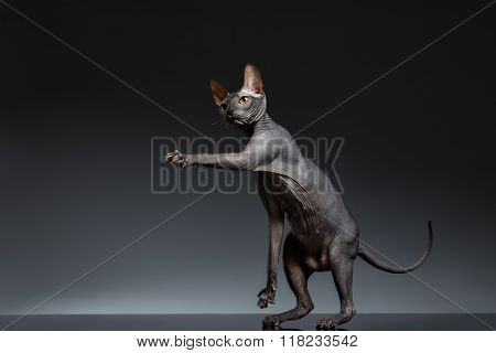 Funny Sphynx Cat Stands And Raising Up Paw On Black