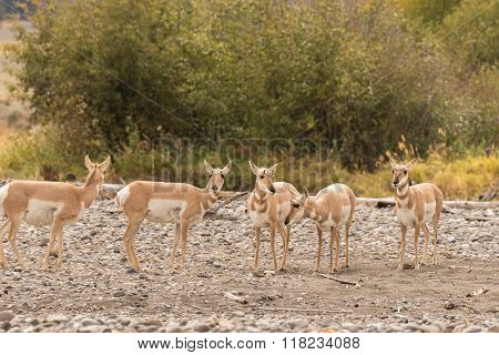 Pronghorn Antelope Does