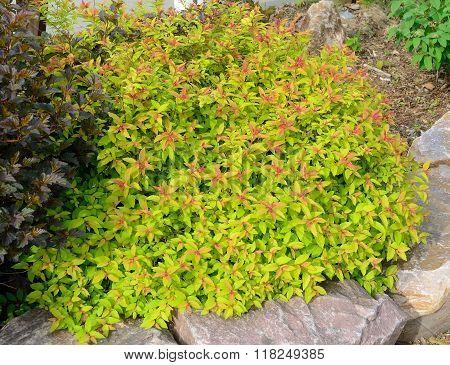Goldflame Spirea Landscaping Shrub