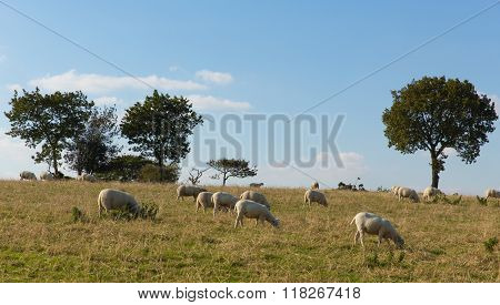 Blackdown Hills east Devon England UK countryside view with sheep grazing