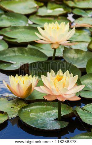 beautiful waterlily or lotus flower in mash