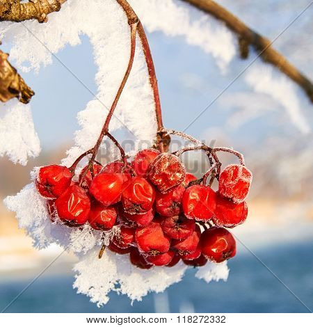 Red Frozen Rowan Berries Covered With Hoarfrost